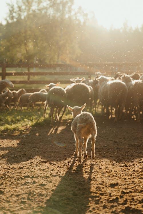Herd of Sheep on Brown Field