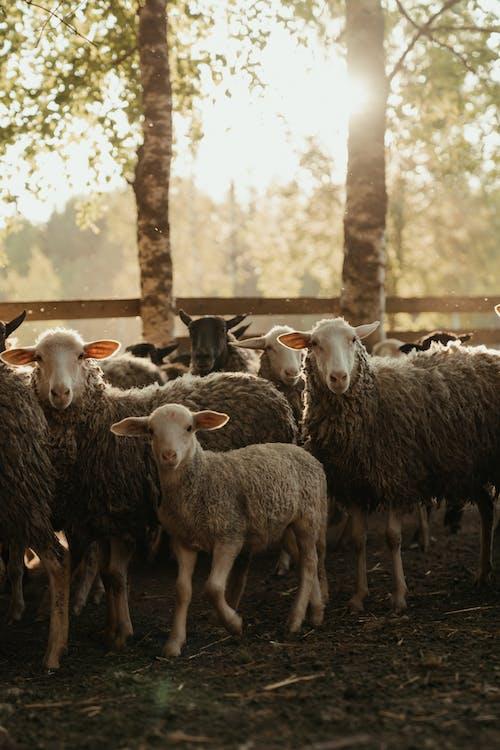Δωρεάν στοκ φωτογραφιών με barnyard, αγέλη, αγρόκτημα