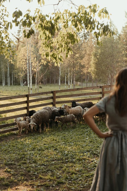Woman in White Dress Standing Beside Brown and Black Goats