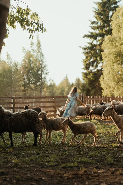 Woman in White Dress Standing on Brown Wooden Fence With Herd of Sheep