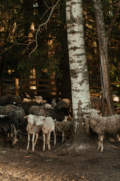 Herd of Sheep on Brown Wooden Fence