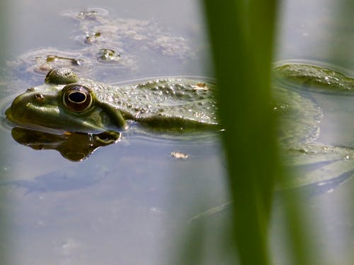 Free stock photo of Frosch
