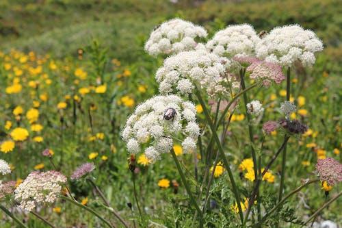 Ảnh lưu trữ miễn phí về alps, bọ cánh cứng, đồng cỏ, hoa dại