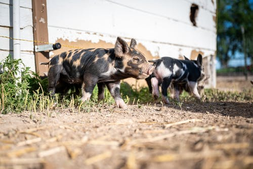 Adorable piglets walking on shabby land on farm