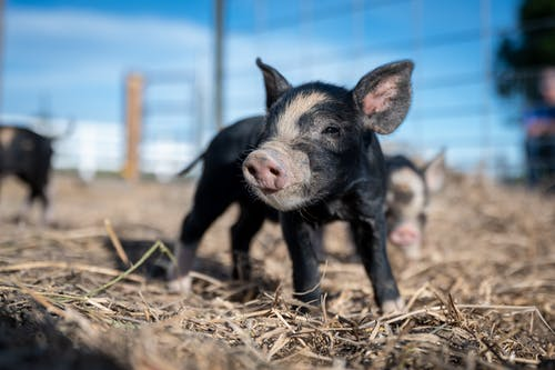 Adorable small pig on dry land near fence