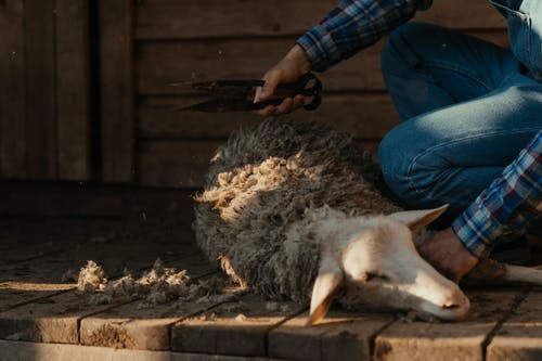 Person in Blue Denim Jeans Holding White and Black Goat