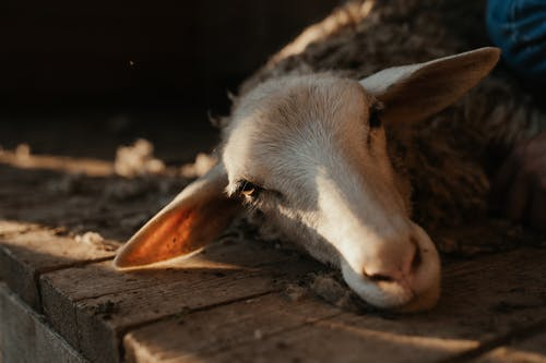 Бесплатное стоковое фото с двор фермы, домашнее животное, овца