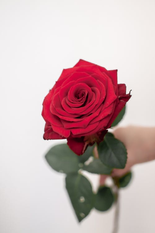 Person Holding a Red Rose Flower