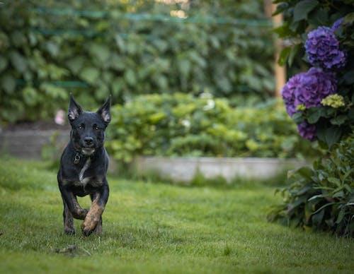 Free stock photo of black, dog, puppy, running