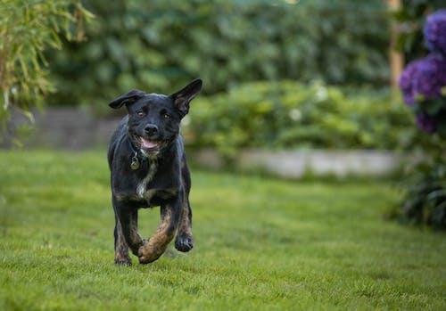 Free stock photo of black, cute, dog, happy