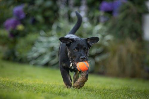 Black Short Coated Dog Biting Orange Ball on Green Grass Field