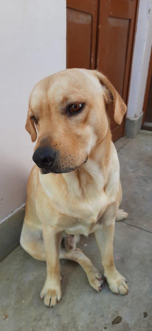 Ilmainen kuvapankkikuva tunnisteilla baby-dog-maailma, labradorinnoutaja