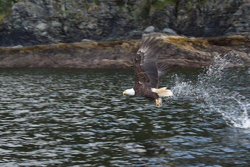 Free stock photo of alaska, bald eagle, catching fish