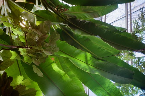 From below of colorful banana plant with long wavy leaves growing near window in greenhouse in daylight