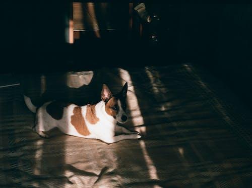 Adorable Basenji resting on soft blanket on bed