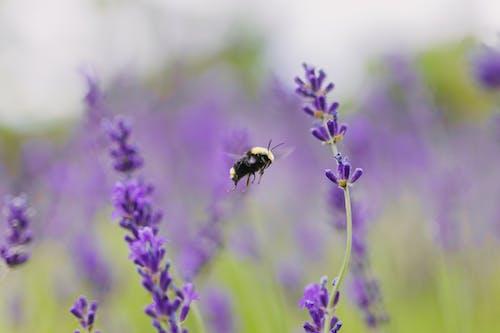 Foto d'estoc gratuïta de abella, bitxo, espígol