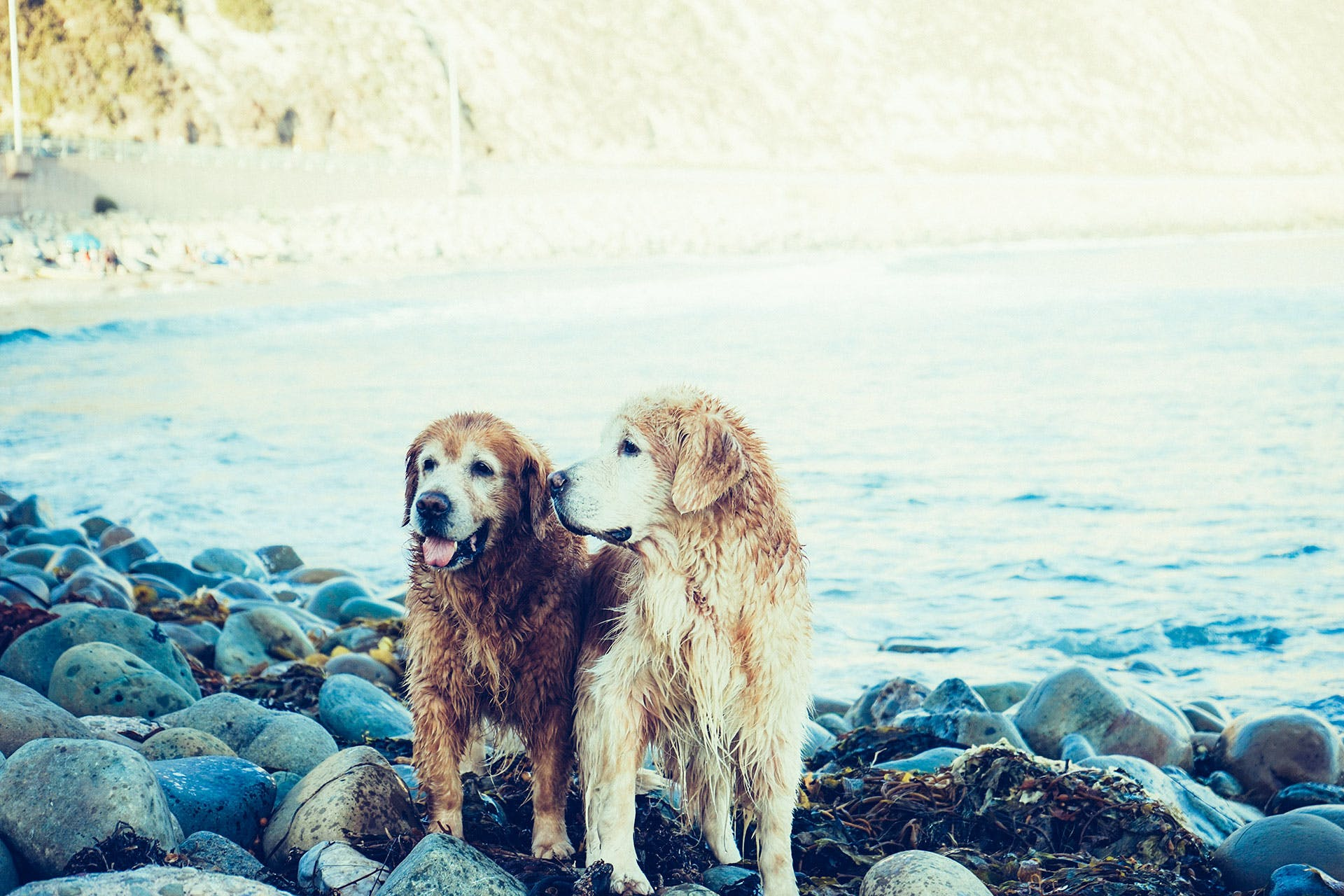 Two Adult Golden Retrievers Near the Body of Water