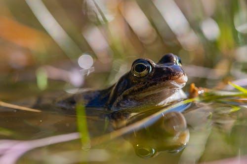 カエル, ボケ, マクロの無料の写真素材