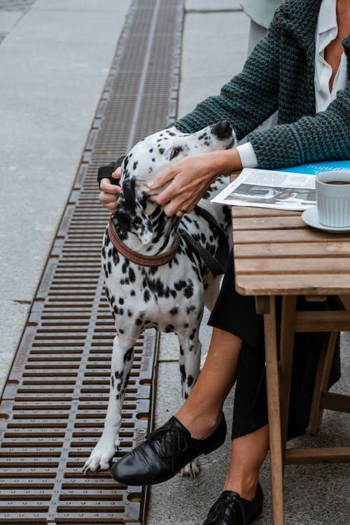 Dalmatian Dog Sitting on Brown Wooden Bench