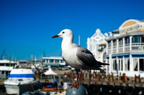 Immagine gratuita di azzurro, banchina, Città del Capo, gabbiano