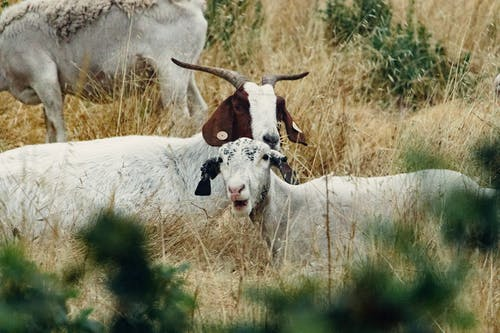 White and Brown Goats on Green Grass Field