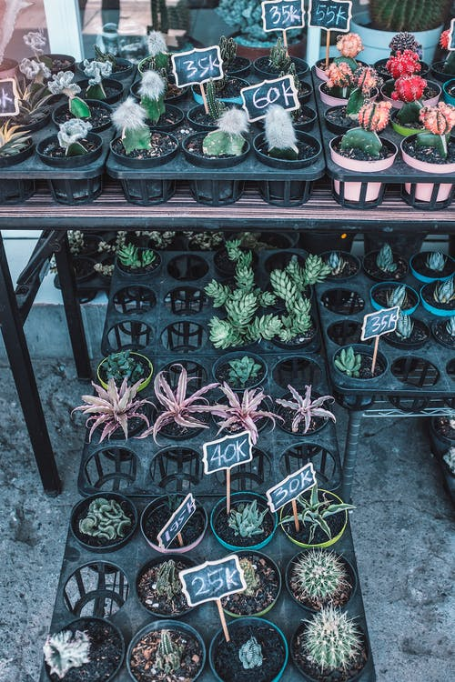 Potted cactus plants arranged on shelves in street shop