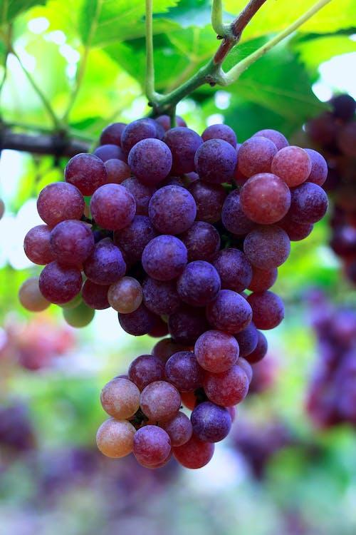 Kostnadsfri bild av frukt, klunga, knippa