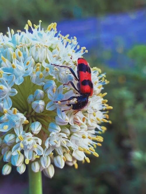 Bug eating pollen on white spherical flower in garden