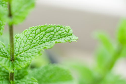 Green Mint Leaves in Close Up Photography