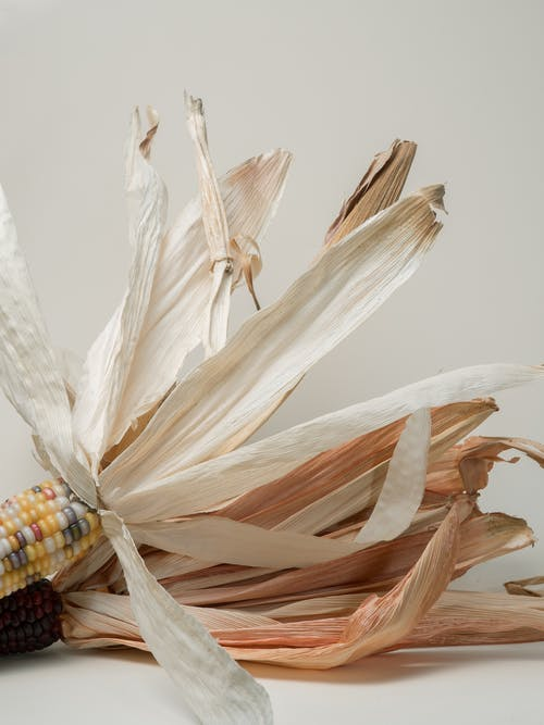 Decorative creative dried mountain corns with painted kernels and big dried leaves placed on white background