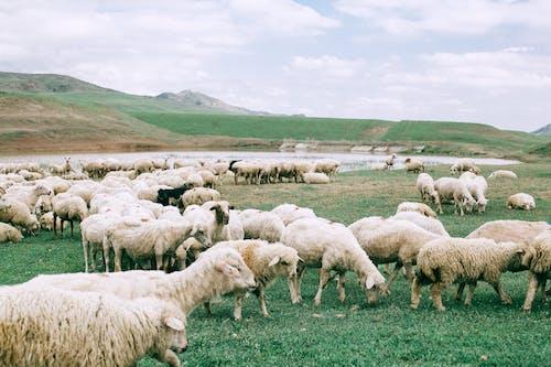 Rebaño De Ovejas En Campo De Hierba Verde