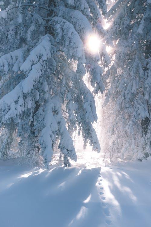 大雪覆蓋的樹木