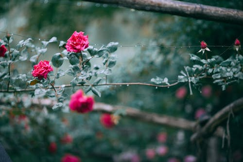 Green bushes with blooming roses and rose buds in summer garden on blurred background