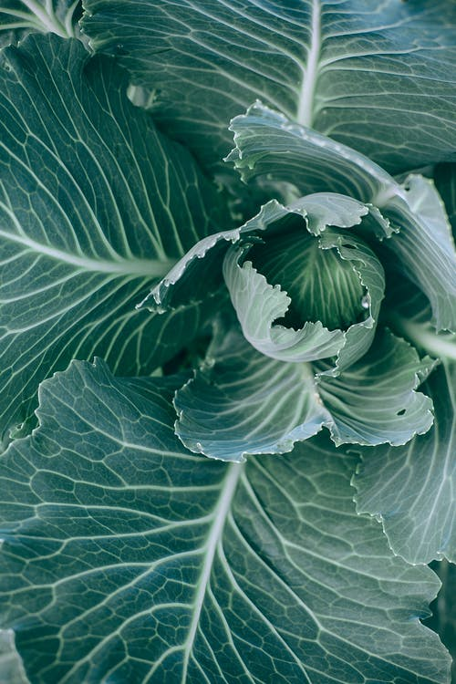 Top view of green healthy cabbage with big leaves with veins growing in garden