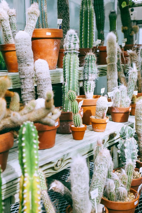 Assorted cacti with thick prickly stems growing in pots on shelves in plant shop