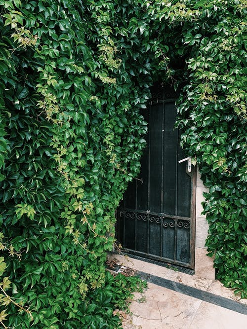 Green plant covering fence with window