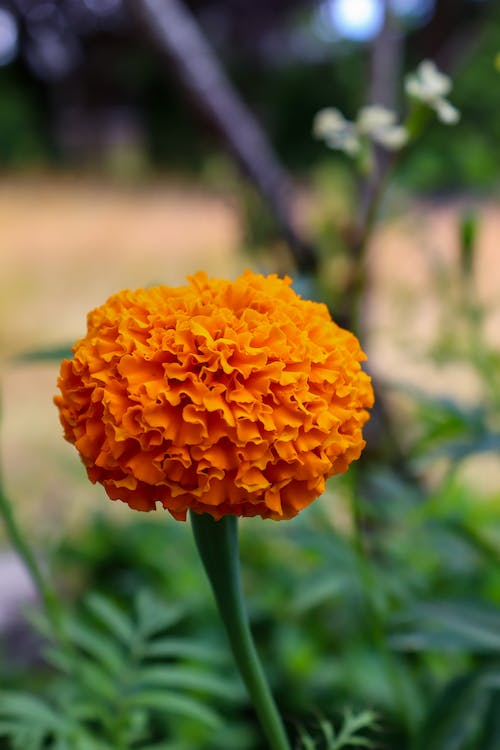 Free stock photo of beautiful flower, bloom, flower, marigold