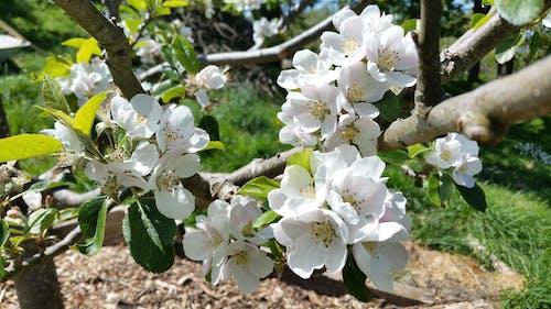 Fotobanka sbezplatnými fotkami na tému jabloňový kvet