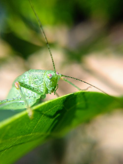 Green Grasshopper on Leaf in Close Up Photography