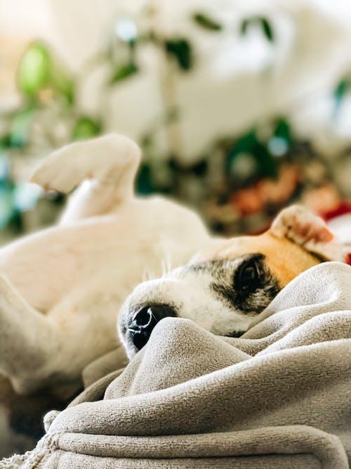 Foto stok gratis anjing, anjing terrier halus, Apartemen, berbohong