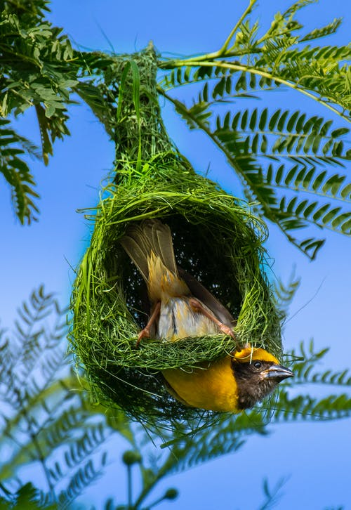 Bright yellow small weaverbird in verdant grassy nest on shrub with fresh leaves in sunny weather