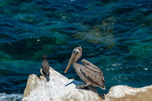 トロピカル, ビーチ, ペリカン, 動物の無料の写真素材
