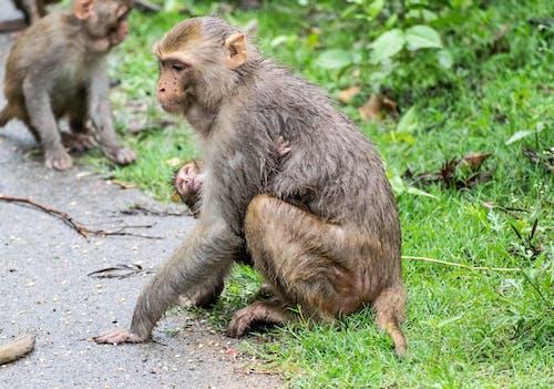 Free stock photo of animal, baboons, baby, baby monkey
