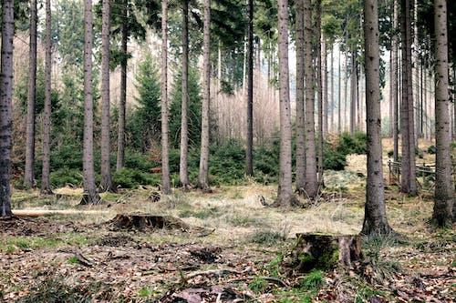 Бесплатное стоковое фото с дерево, деревья, еловые деревья, лес