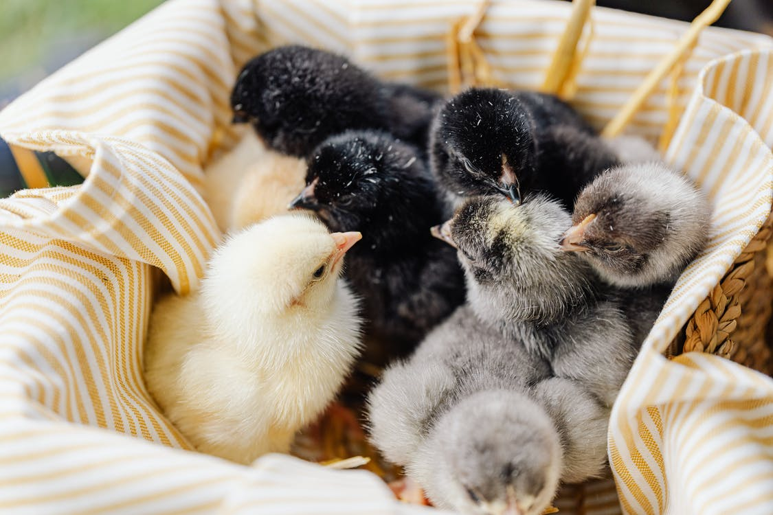 White and Gray Chicks on Brown Woven Basket