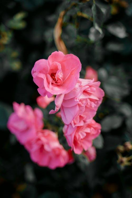 Blooming bush with gentle ink roses in garden