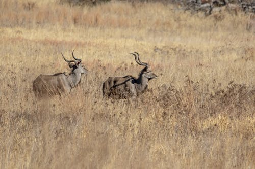 Free stock photo of animals, antelope, grassland, horns
