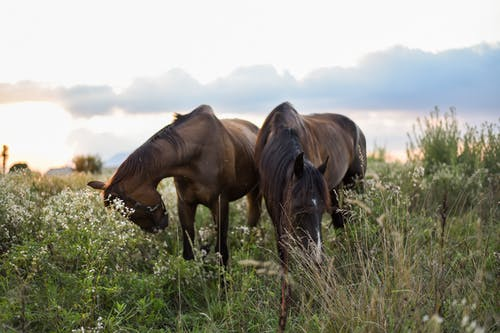 Dark horses grazing together in meadow in countryside and eating tall green grass against cloudy sky