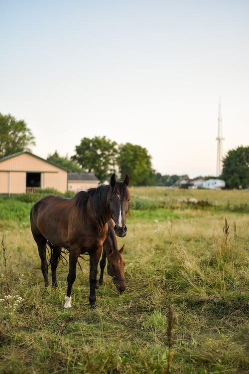 Horses grazing on pasture against barn