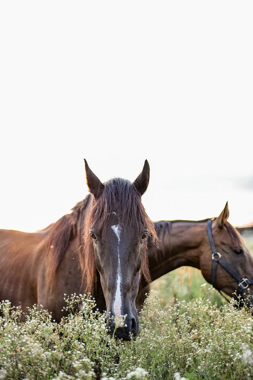 Strong brown horses in bridle standing on grassy pasture and grazing on clear summer day